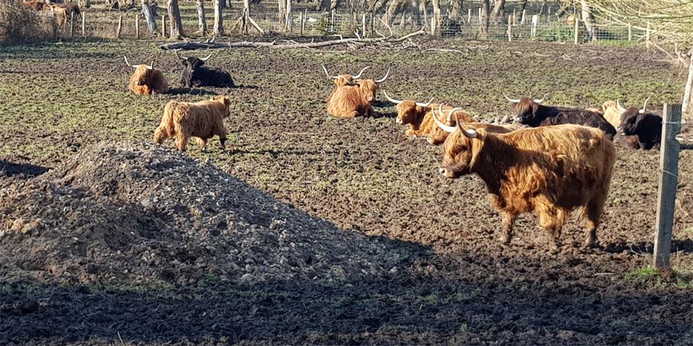 MARAIS VERNIER HIGHLAND COWS